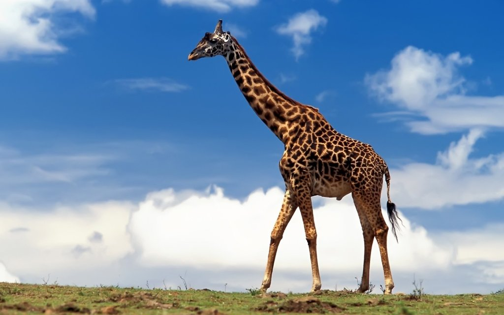 immagine-animale-giraffa